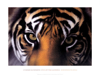 fa509eyes-of-the-goddess-sumatran-tigress-posters.jpg